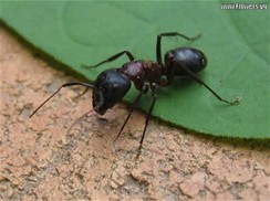 black-ant-on-leaf