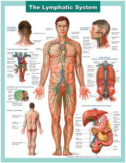 Lymph-System 2